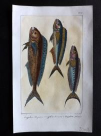 Lacepede & Oudart C1830 Hand Col Fish Print. Coryphene Fish 63